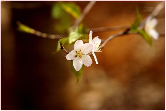 cherry-blossom-819896_1920