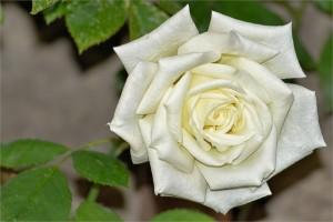rose-1479093_1920