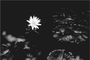 water-lily-1015215_1920