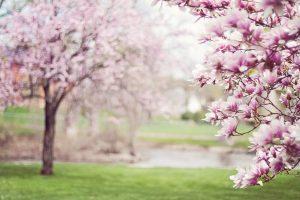 magnolia-trees-556718_1280