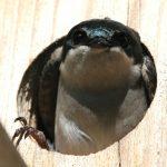 ツバメの巣が縁起が良い理由・由来は?対策と駆除・違法にならない撤去方法