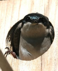 tree-swallow-541186_1280