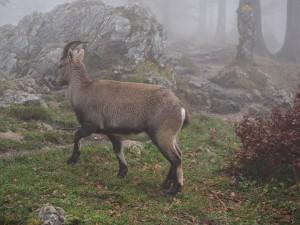 alpine-ibex-779870_1280
