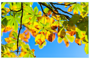 horse-chestnut-tree-275921_1280
