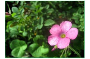 pink-geranium-17849_640