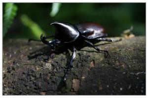 rhinoceros-beetle-828323_1280