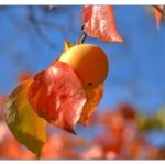 数日で甘い柿が出来る!簡単に渋柿を甘くする方法「ドライアイス編」