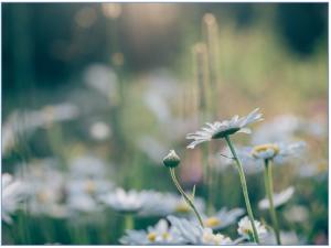 daisies-846079_1920