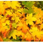 楓の名前の意味や季節とは?読み方にはどんなものがある?