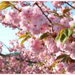 「桜餅」関東と関西でどんな違い?飾りの葉っぱの理由は何?食べられるの?