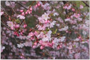 cherry-trees-976321_1920