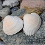 はまぐりの砂抜きの方法とは?短時間で簡単にやるには?貝が開かない時はどうする?