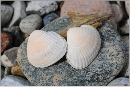 clam-skald-594186_1920