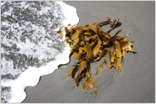 kelp-841608_1920