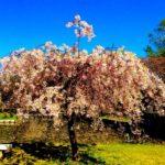 高田公園の桜の見頃の時期はいつ?屋台はある?駐車場は?