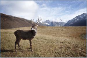caribou-1030864_1920