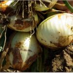 新玉ねぎの保存方法は吊るし方が大事?期間の目安と使い方・レシピ