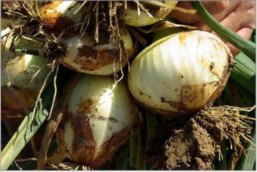 onions-710140_1920