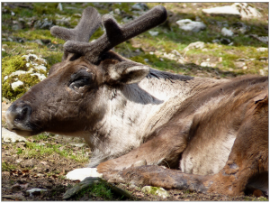 reindeer-713285_1920
