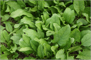 spinach-506616_1920