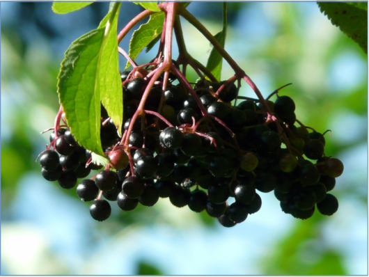 black-elderberry-9916_1920