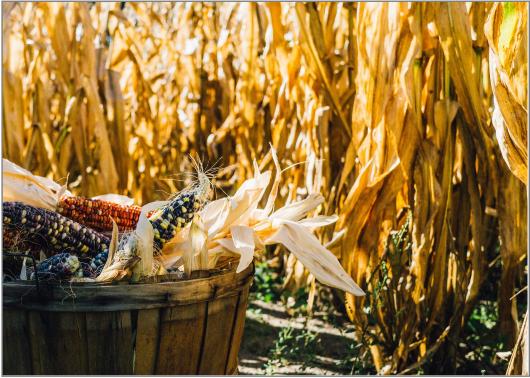 corn-1031291_1920