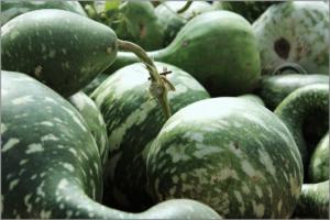 green-gourd-1038185_1920