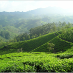 プーアル茶の効能とは?効果的な飲み方と美味しい基本の入れ方