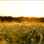 もち麦の効果的な食べ方と炊き方。押し麦やはだか麦との違いはなに?