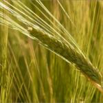 押し麦は栄養価が高い?効果的な炊き方・食べ方ともち麦やハトムギとの違い