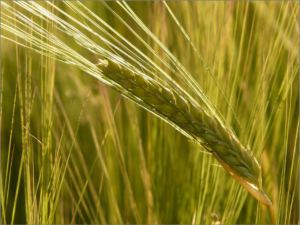 barley-field-8230_1920