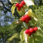 サンシュユの効能と実の使い方。枝を使って出来るヨーグルトの作り方は?