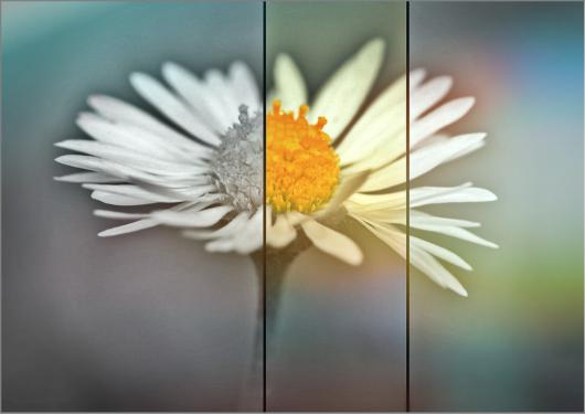 daisy-593552_1920
