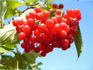 cranberry-93747_1280