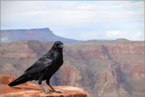 raven-1031350_1920