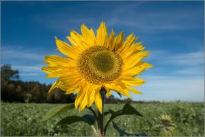 sun-flower-1009070_1920