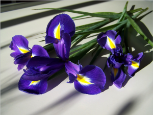 fleur-de-lis-715160_1920