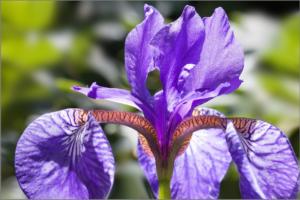 iris-365048_1920