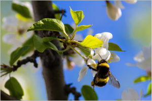 bumble-bee-1406467_1920
