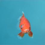 金魚すくいにはコツがある?寿命の目安はどのくらい?