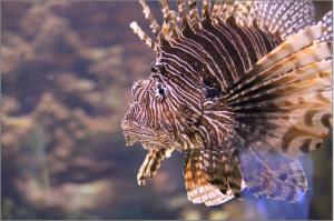 lionfish-1288728_1920
