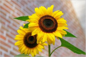 sunflower-448654_1920
