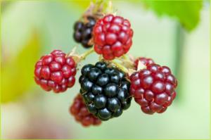 blackberries-370016_1920