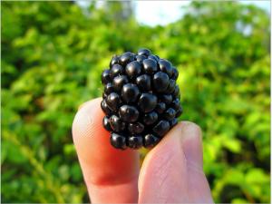 blackberry-577057_1920
