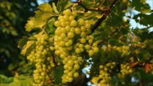 grapes-1599052_1920