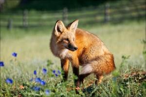 red-fox-871450_1280