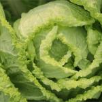 白菜の効能とは?バランスの良い栄養を壊さない調理法とレシピ
