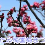 熱海梅園梅まつりの開花状況と見頃の時期はいつ?駐車場はある?